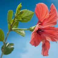 Hibiscus by the pool